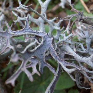Mousse d'arbre