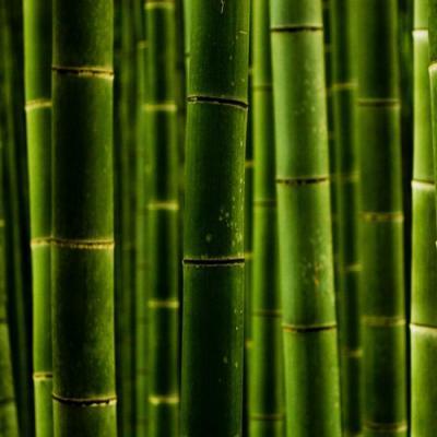 Bambou en parfumerie