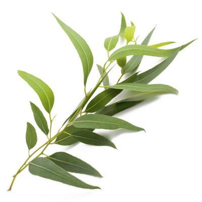 Eucalyptus en parfumerie