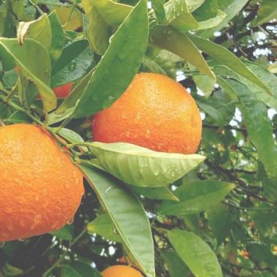 Feuille de mandarinier en parfumerie