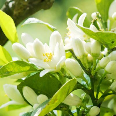 Fleur d'Oranger en parfumerie