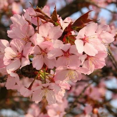 Fleur de Cerisier en parfumerie