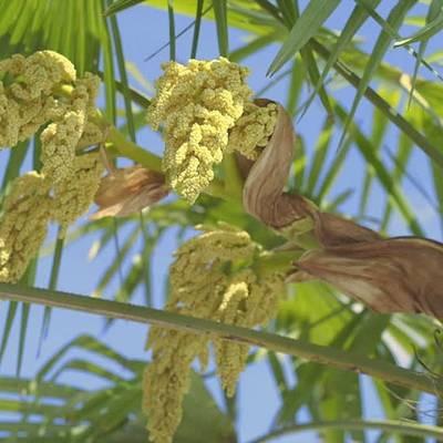 Fleurs de palmier en parfumerie