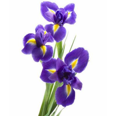 Iris en parfumerie