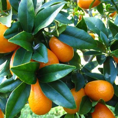 Kumquat en parfumerie