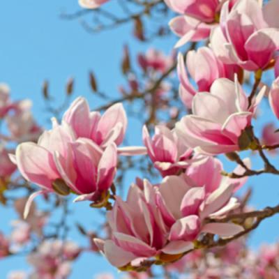 Magnolia en parfumerie