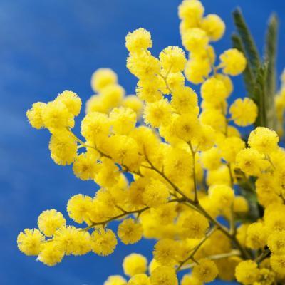Mimosa en parfumerie