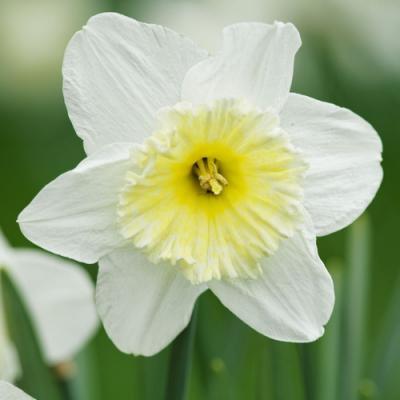 Narcisse en parfumerie