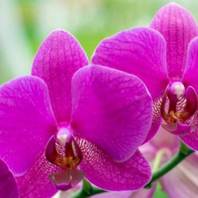 Orchidée en parfumerie
