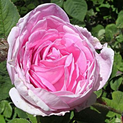 Rose en parfumerie
